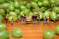 Grape Harvest - While you were sleeping...  Photography by Lon Casler Bixby - Copyright - All Rights Reserved - www.whileyouweresleeping.photography/